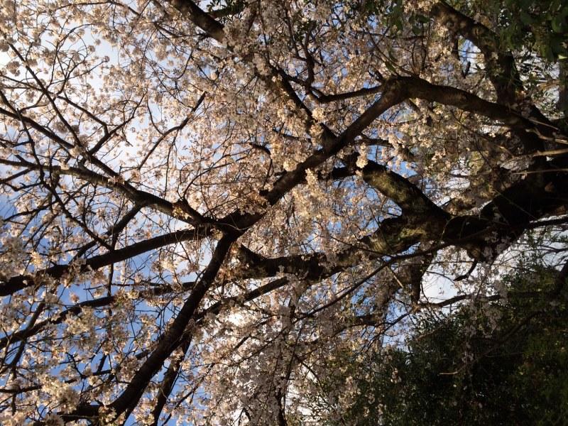 Sakura20140405